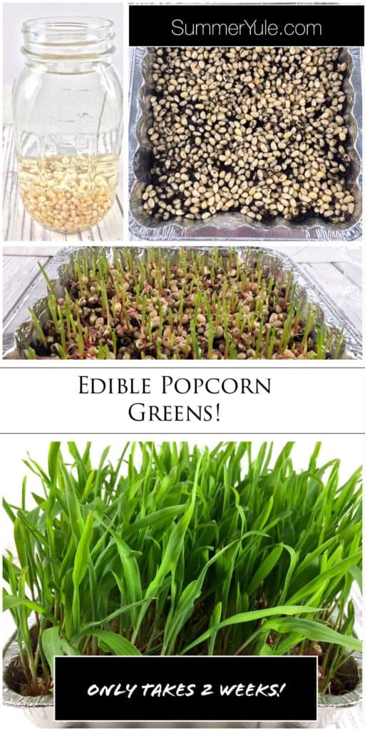 How do you grow popcorn greens Pinterest image