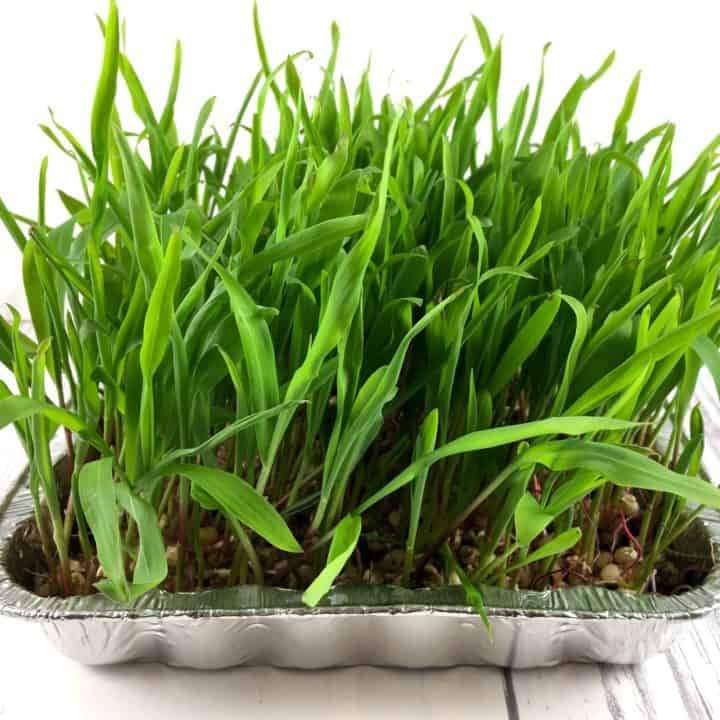 How do you grow popcorn greens square image